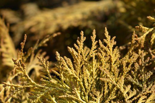 Yellow Ribbon Arborvitae