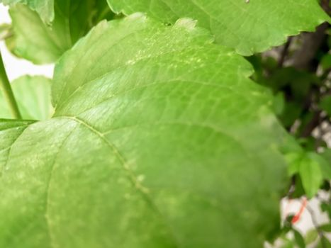 Blurred Background tropical green leaves Plantae . Vivid summer