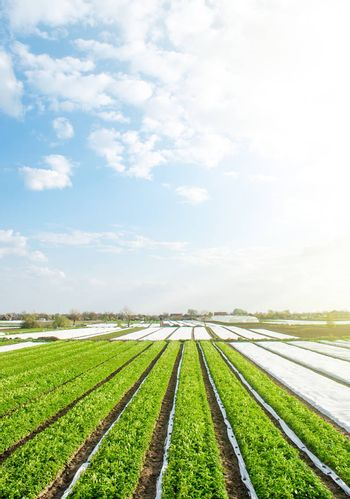 Green farm potato fields on an sunny morning day. Agricultural industry growing potatoes vegetables. Agroindustry and agribusiness. Organic farming products in Europe. Beautiful countryside landscape