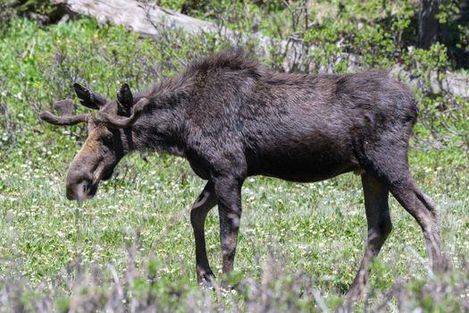 Bull Moose ln late Spring. Colorado Moose Living in the Wild