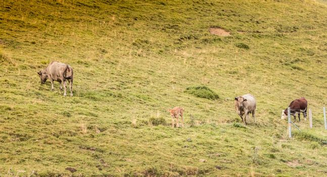 cows grazing on the slopes of the Pyrenees in France