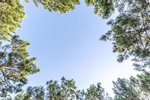 Looking up at pine trees and blue sky background with large copy space for text in the sky