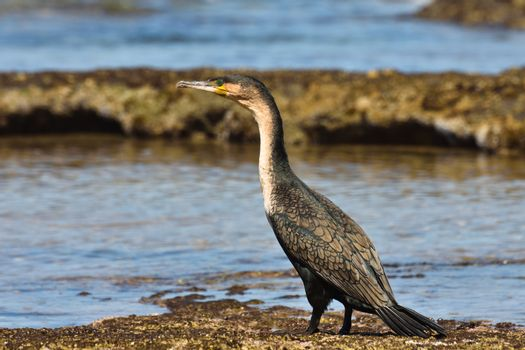 Single white-breasted cormorant (Phalacrocorax lucidus) standing by a coastal rock pool, Mossel Bay, South Africa
