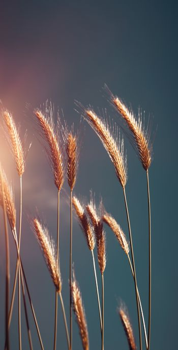Beautiful Ripe Wheat
