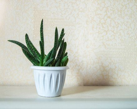 Aloe cactus in a white pot on a light white background, succulent plant, minimal concept with a copy of the space.