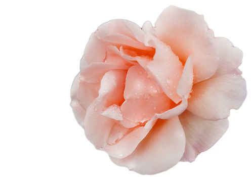 Close up of a single flower of a delicate pink rose on a white background isolated by clipping.