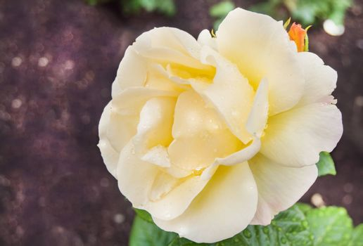 One white rose, in an open space, blurred bokeh background, on a Sunny summer morning.