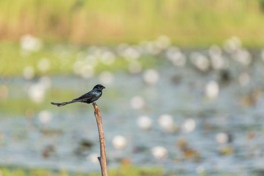 Bird (Black Drongo) on tree in nature wild