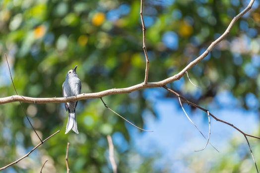 Bird (Ashy Drongo) on tree in nature wild