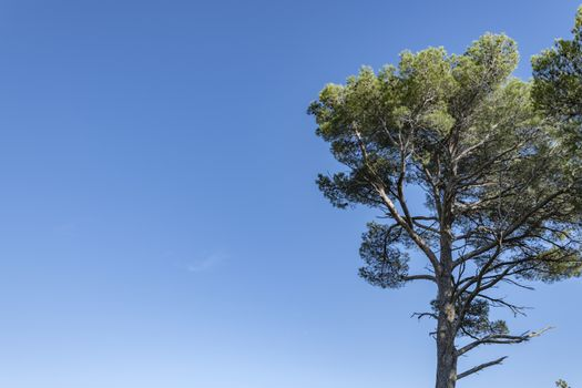 Pine Tree and blue sky with large copy space on the left of the horizontal picture. South of France, Europe