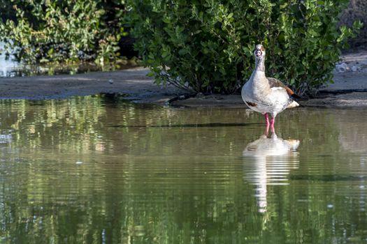 Kind of Duck seen near Al Qudra Lakes, Dubai, United Arab Emirates (UAE), Middle East, Arabian Peninsula