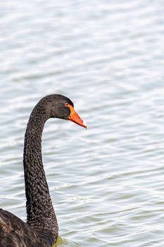 Black swan, Al Qudra Lakes, Dubai, United Arab Emirates (UAE), Middle East, Arabian Peninsula