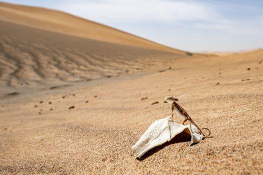 Close-up of Arabian toad-headed agama (Phrynocephalus arabicus) in the Desert, standing on a dead leaf, Sharjah, United Arab Emirates (UAE), Arabian Peninsula, Middle East