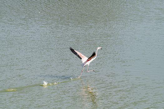 Isolated Flamingo walking on water in Qudra Lakes with copy space, Dubai, United Arabn Emirates (UAE), Middle East, Arabian Peninsula
