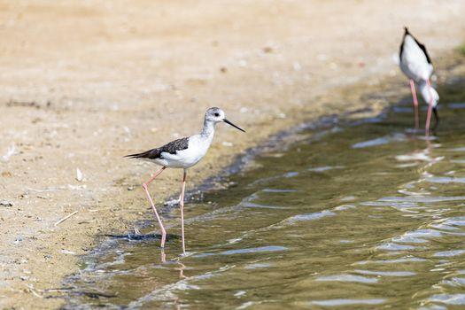 Water bird (Stilt Bird) in the water of Al Qudra Lakes, Dubai, United Arab Emirates UAE, Middle East, Arabian Peninsula
