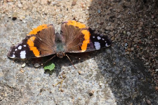Red Admiral butterfly. Vanessa atalanta sitting on a cobblestone