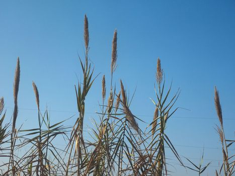 Common reed plant