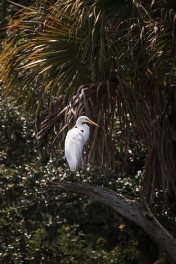 Great white egret wading bird perched on a tree in swamp of Myakka River State Park in Sarasota, Florida.
