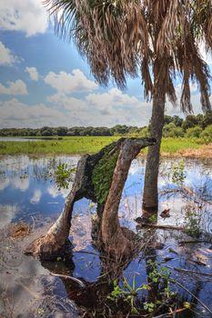 Stump in Seasonal flooded swamp of Myakka River State Park in Sarasota, Florida.