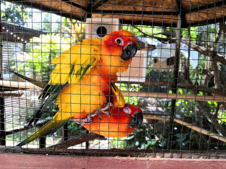 two orange parrots