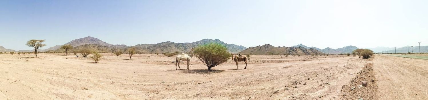 Panorama view of desert landscape view with camels. selective focus