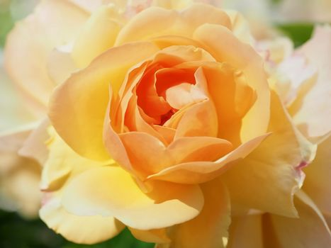 Macro of a beautiful orange rose