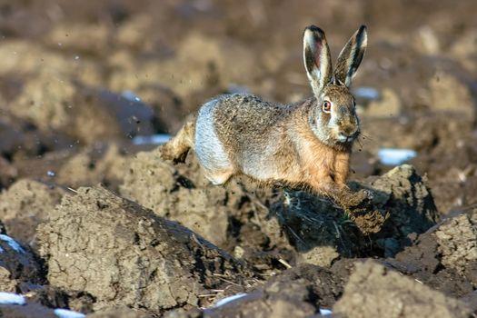 The European hare (Lepus europaeus).
