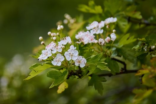 Crataegus laevigata, flowering spring stream, flowers of midland hawthorn,