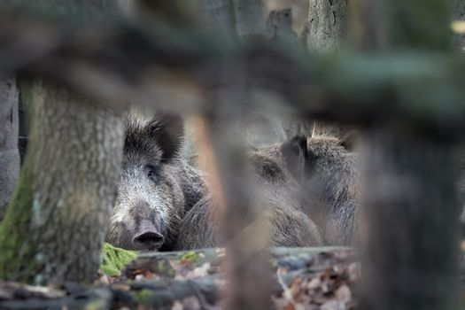Wild boar family lying in forest in autumntime (Sus scrofa). View of dangerous aggressive animal in wilderness. Concept of animal danger in nature. Mammals in nature habitat.
