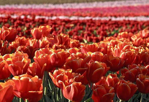 Field of beautiful blooming tulips for agriculture