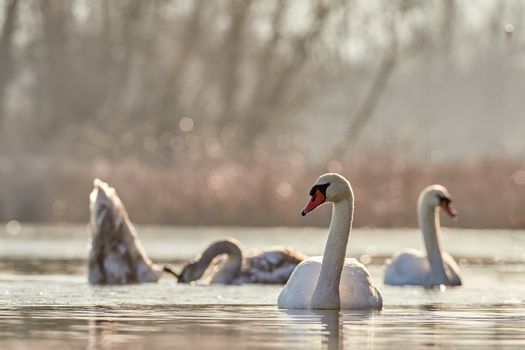 Mute swan, Cygnus olor, selective focus and diffuse background, floating with its cygnets in the warm autumn sunshine. Sunrise on the lake.