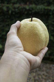 Single fresh asian whole pear, stock photo
