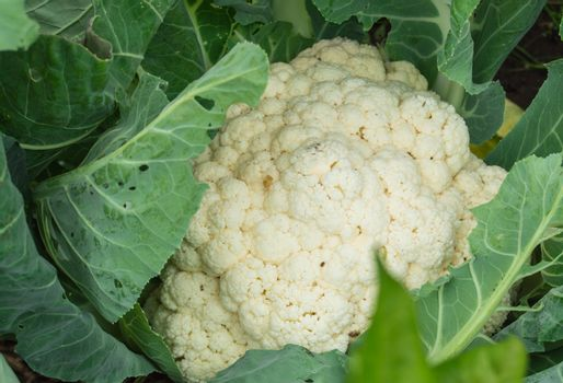Close-up of ripe raw cauliflower top view, organic vegetable concept.