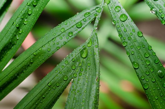 green leaf of a tropical plant with dew drops in detail macro