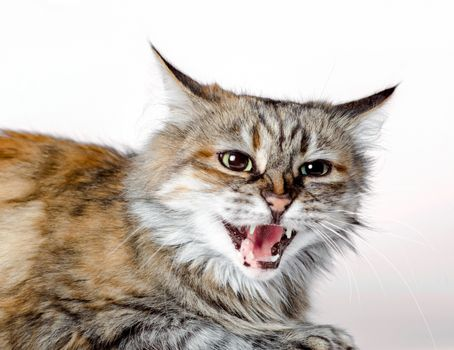 aggressive angry ginger cat with open mouth