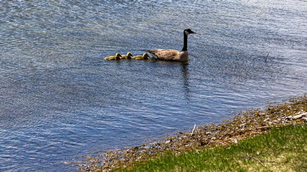 A mother Canada Goose leads her goslings swimming in the water.