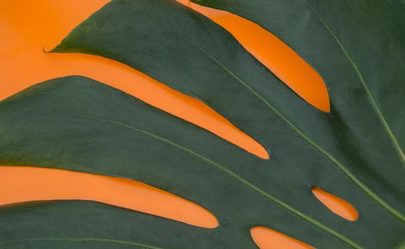 Close-up of tropical monstera leaves on an orange background. Flat styling design.