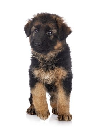 puppy german shepherd in front of white background