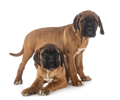 puppies italian mastiff in front of white background