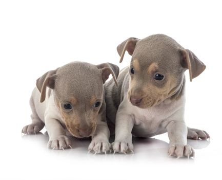 puppies brazilian terrier in front of white background