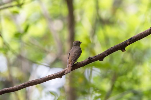 Bird (Blue-and-white Flycatcher) on a tree