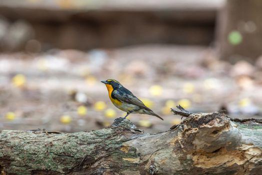 Bird (Narcissus Flycatcher) on a tree