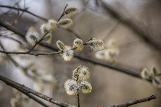 fluffy catkins in spring