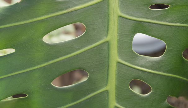 Close-up of tropical monstera leaves with holes, green leaf texture of the plant.