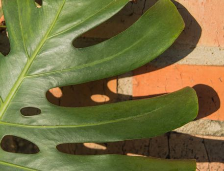 Close-up of a monstera leaf against an orange brick wall with hard shadows. Growing green tropical leaf monstera, outdoors, sunlight.