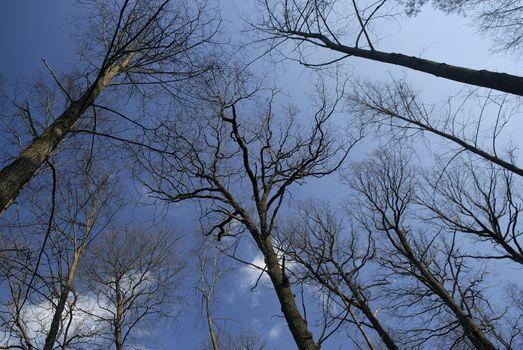 Giant trees on a blue sky
