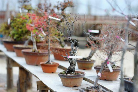 Row of bonsai trees