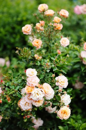 Detail of roses bush as floral background