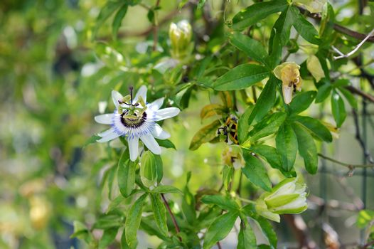 Blooming passionflower