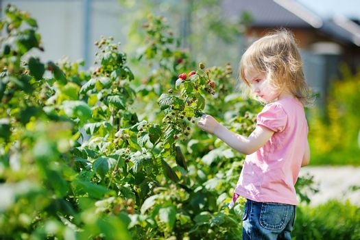 Adorable girl picking raspberries in a garden